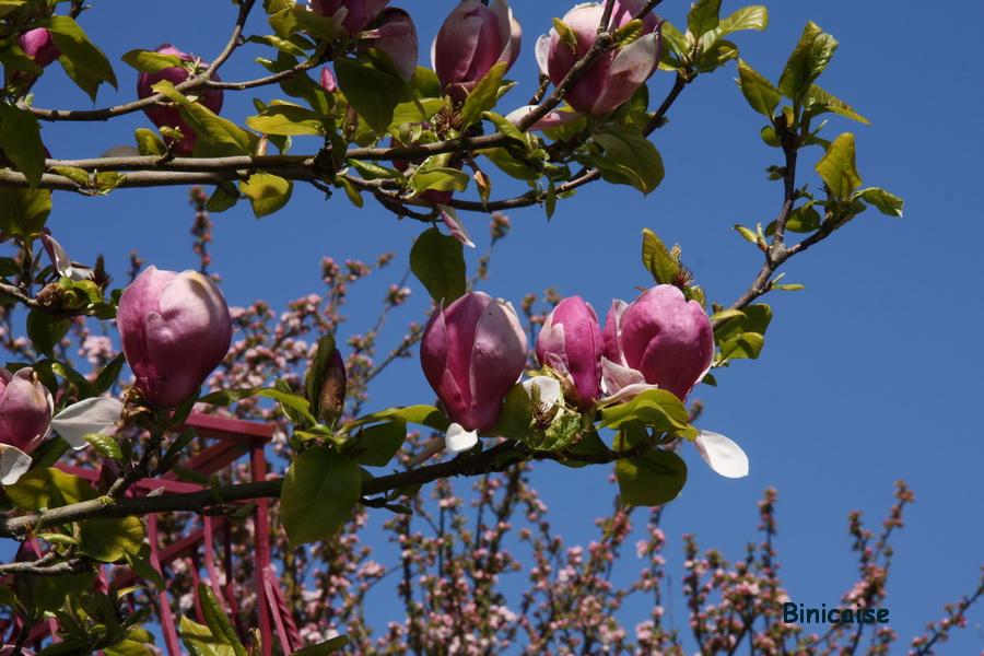 Des magnolias .... dans Fleurs et plantes magnolia-grandiflora
