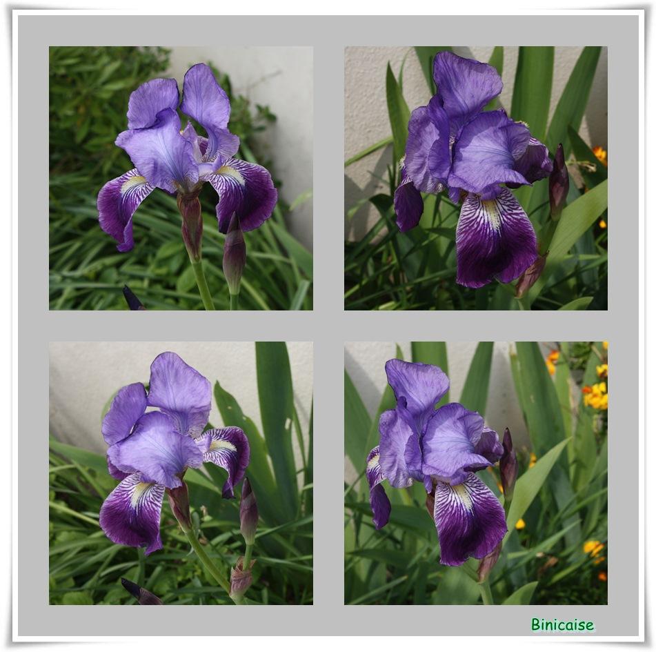 Premiers iris. dans Jardin binicaise premiers-iris