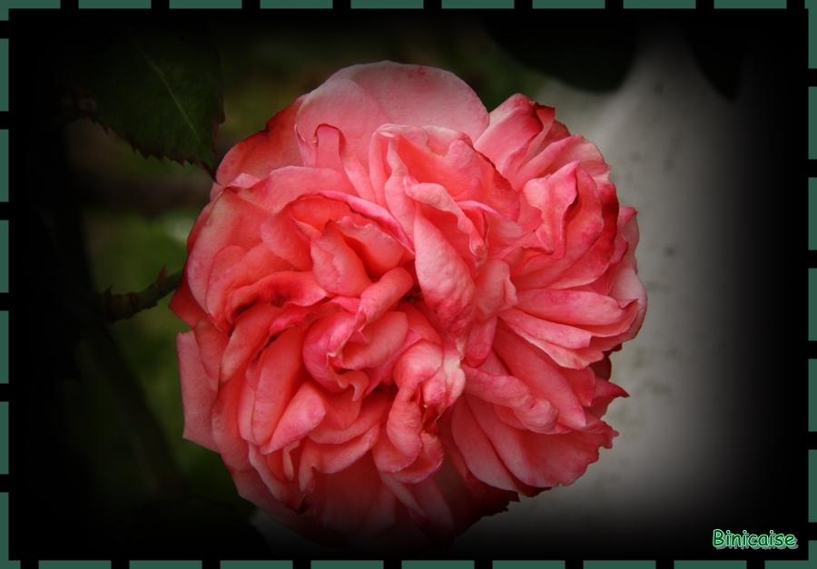 Première rose. dans Jardin binicaise rose-bis