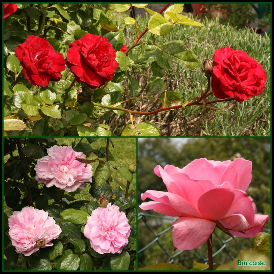 Mes roses 2 dans Jardin binicaise 2013-06-04-roses-02