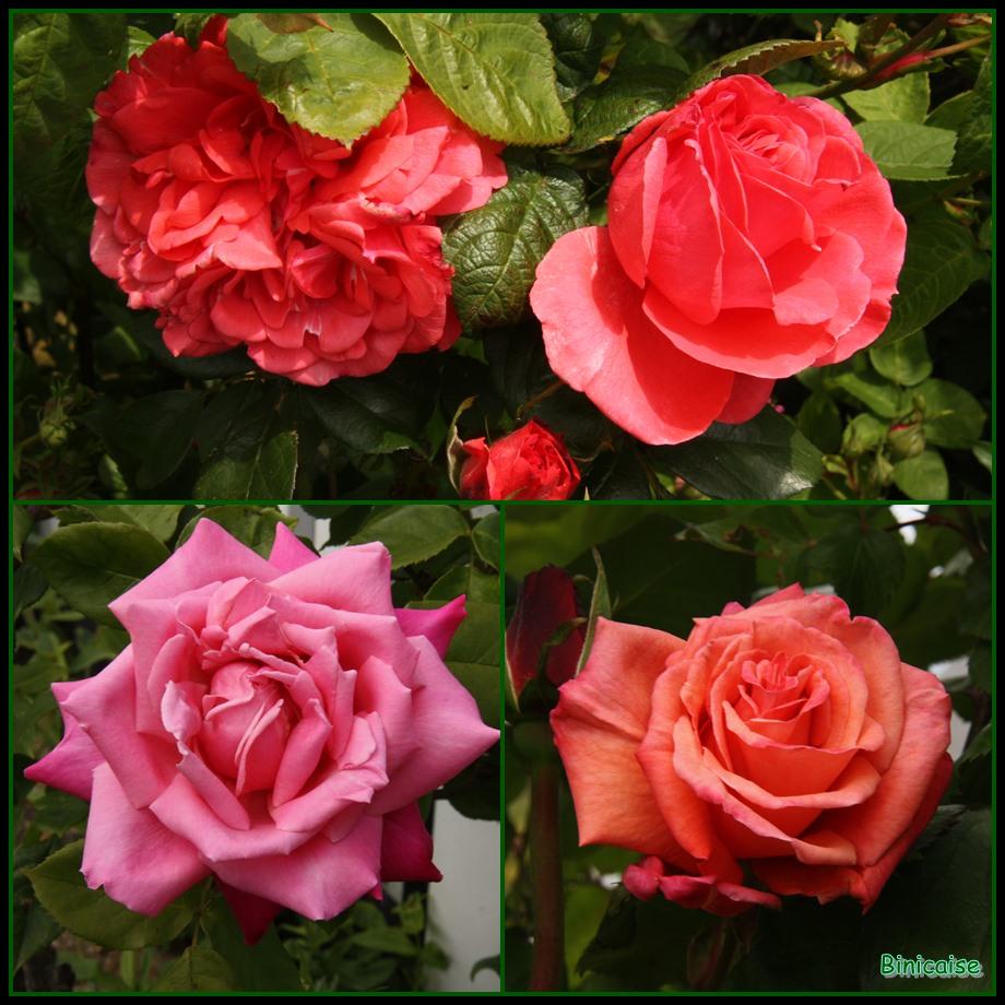 Mes roses. dans Jardin binicaise 2013-06-04-roses