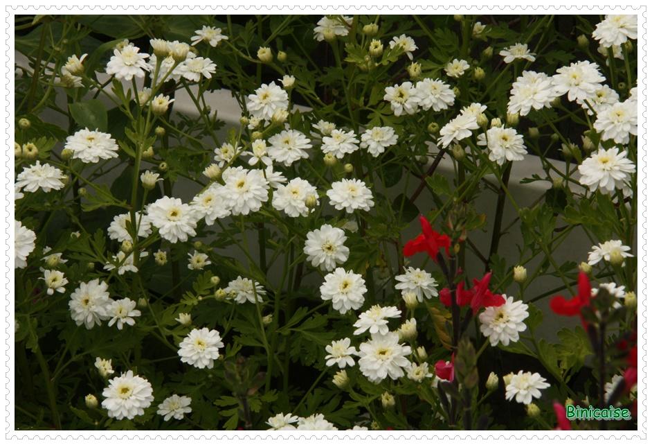 Fleurettes. dans Jardin binicaise fleurs-blanches