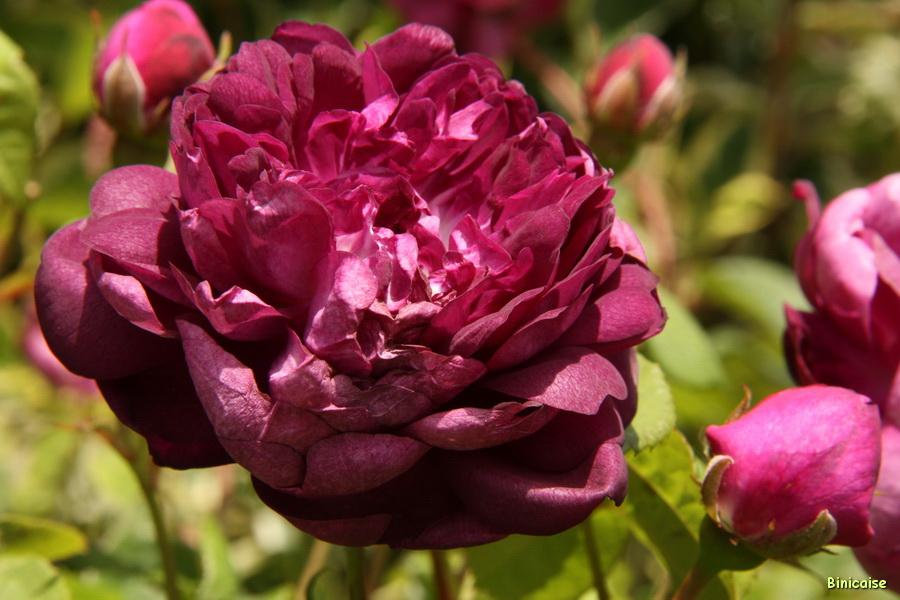 Rose Cardinal de Richelieu. dans Jardin binicaise img_9667_redimensionner