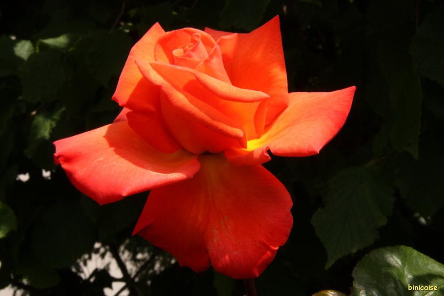 Rose Christophe Colomb. dans Mon Blog img_9677_redimensionner