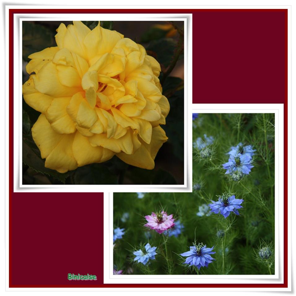 La rose jaune. dans Jardin binicaise la-rose-et-les-nigelles