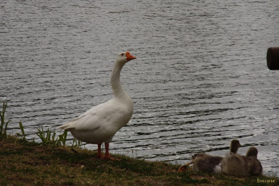 Le cygne du lac et ses enfants. dans Photos millas-2013-le-cygne-26