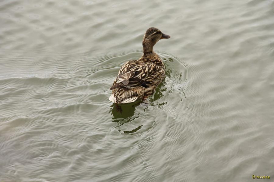 Les canards du lac. dans Photos millas-2013-oiseaux-du-lac-27