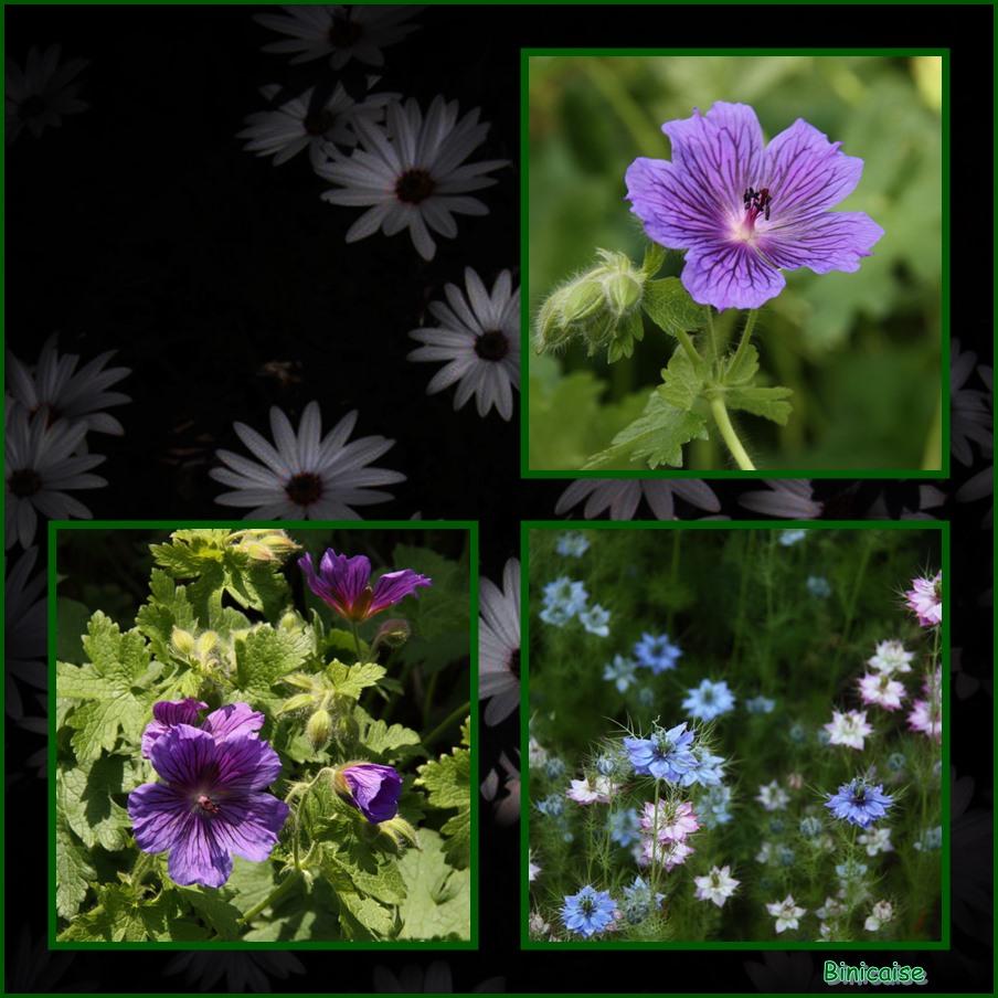 Nigelles et géraniums vivaces. dans Jardin binicaise nigelles-et-geraniums