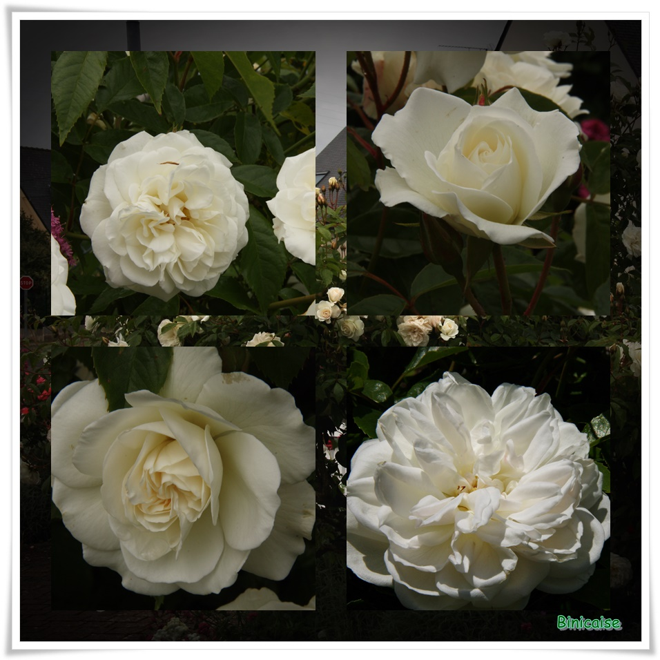 Roses blanches dans Jardin binicaise roses-blanches
