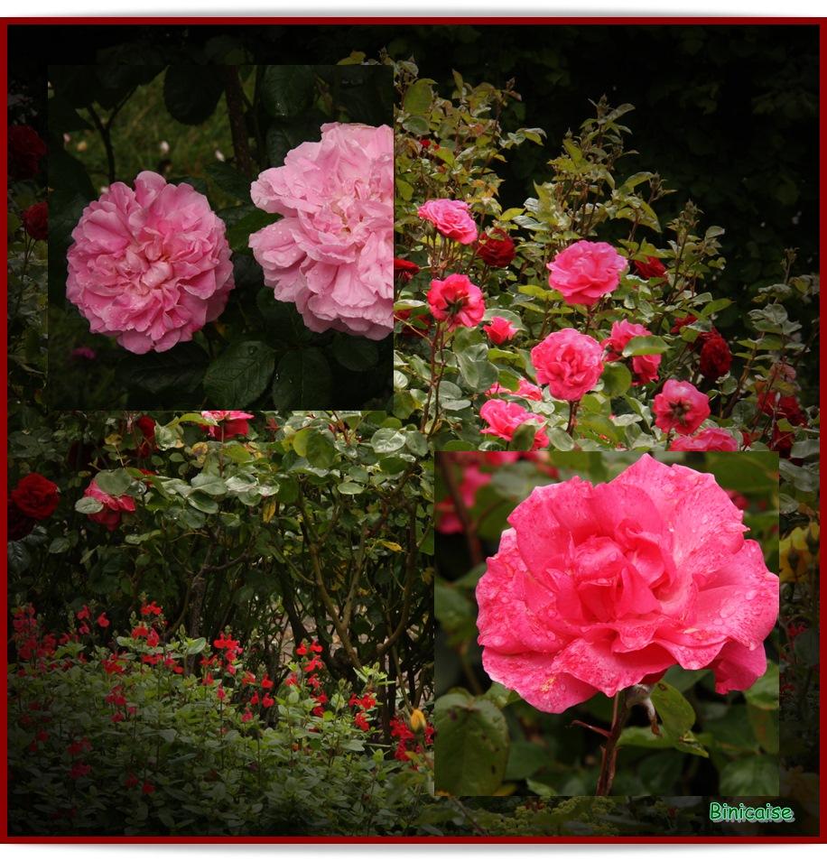 Roses dans Jardin binicaise roses-rose