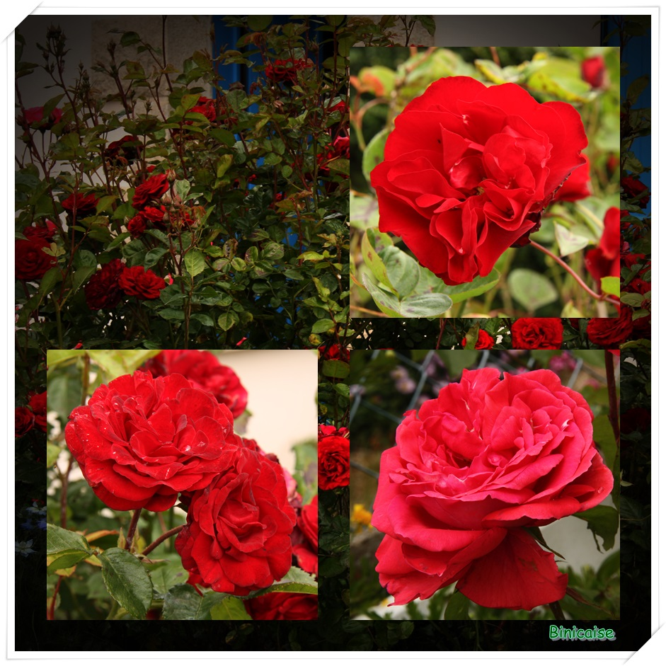 Roses rouges dans Jardin binicaise roses-rouges
