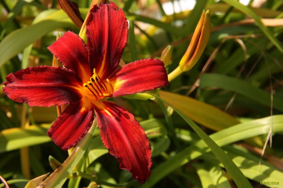 Flamboyant hémarocalle. dans Jardin binicaise img_9715_redimensionner