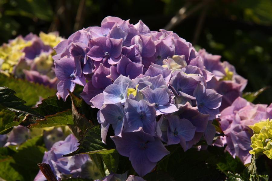 Premières fleurs d'hortensias. dans Jardin binicaise img_9720_redimensionner
