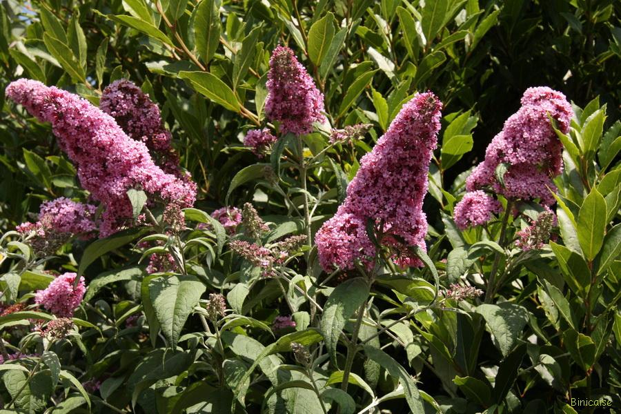 Buddleias dans Jardin binicaise img_9722_redimensionner
