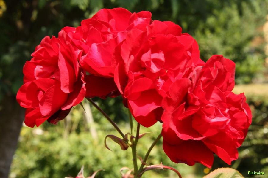 Roses Lili Marleen. dans Jardin binicaise img_9726_redimensionner