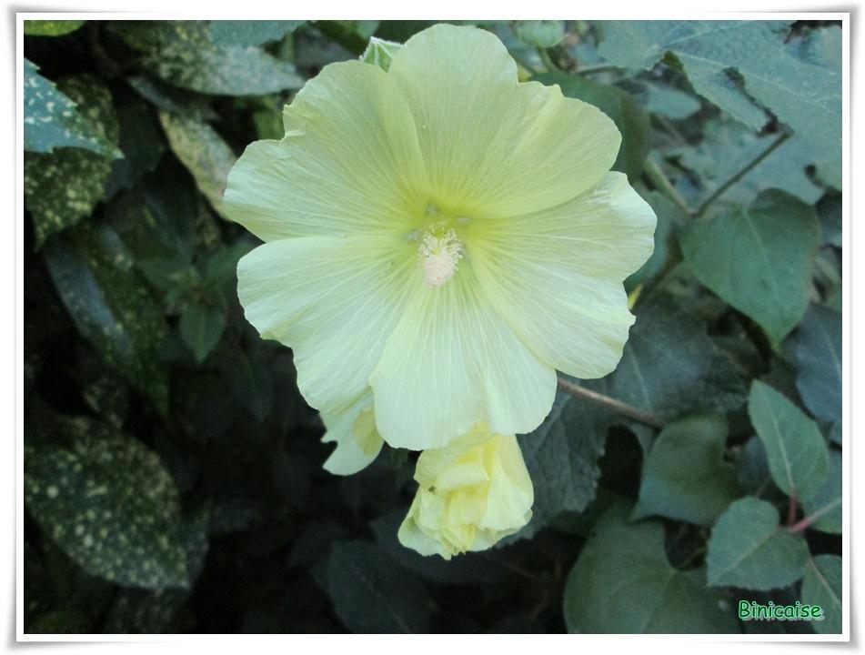 Les althéas . dans Fleurs et plantes althea-jaune
