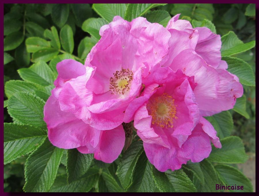 Rosier Rugosa, bouquet de roses . dans Jardin binicaise bouquet-de-roses