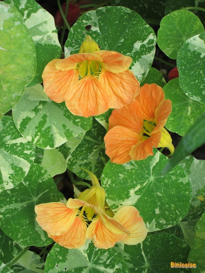 Capucines dans Fleurs et plantes capucines