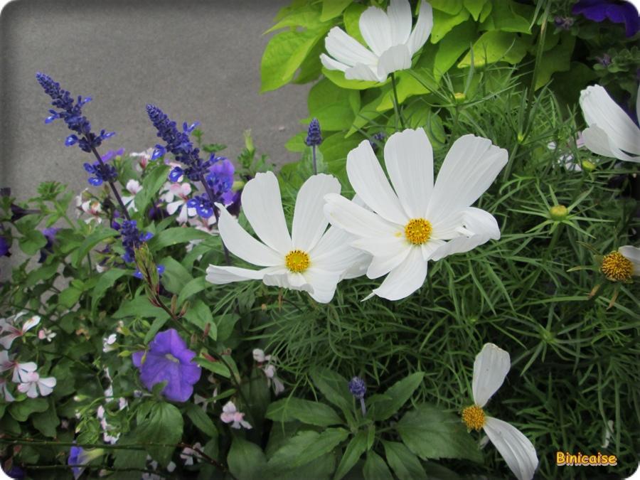 Cosmos et lavandes dans Fleurs et plantes cosmos-01