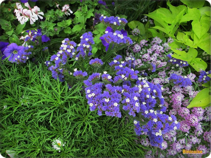 Fleurs d'Immortelles . dans Fleurs et plantes immortelles-01