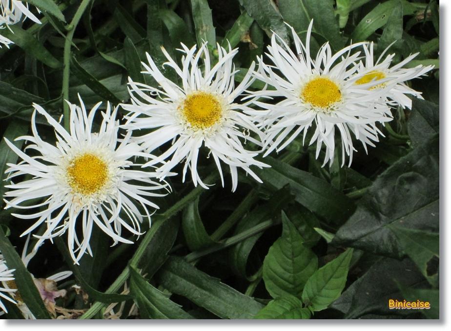 Fleurs blanches . dans Fleurs et plantes les-3-fleurs