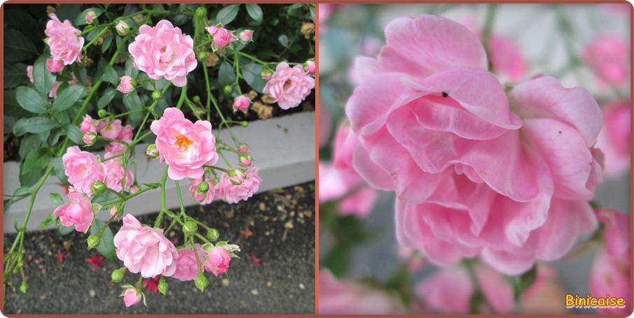 Mini roses . dans Fleurs et plantes mini-roses