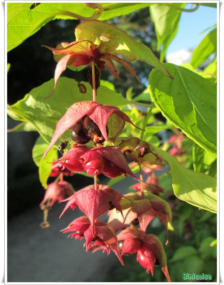 Comme des petites lanternes . dans Fleurs et plantes petites-lanternes