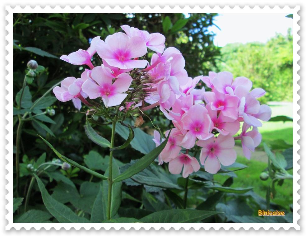 Phlox. dans Fleurs et plantes phlox