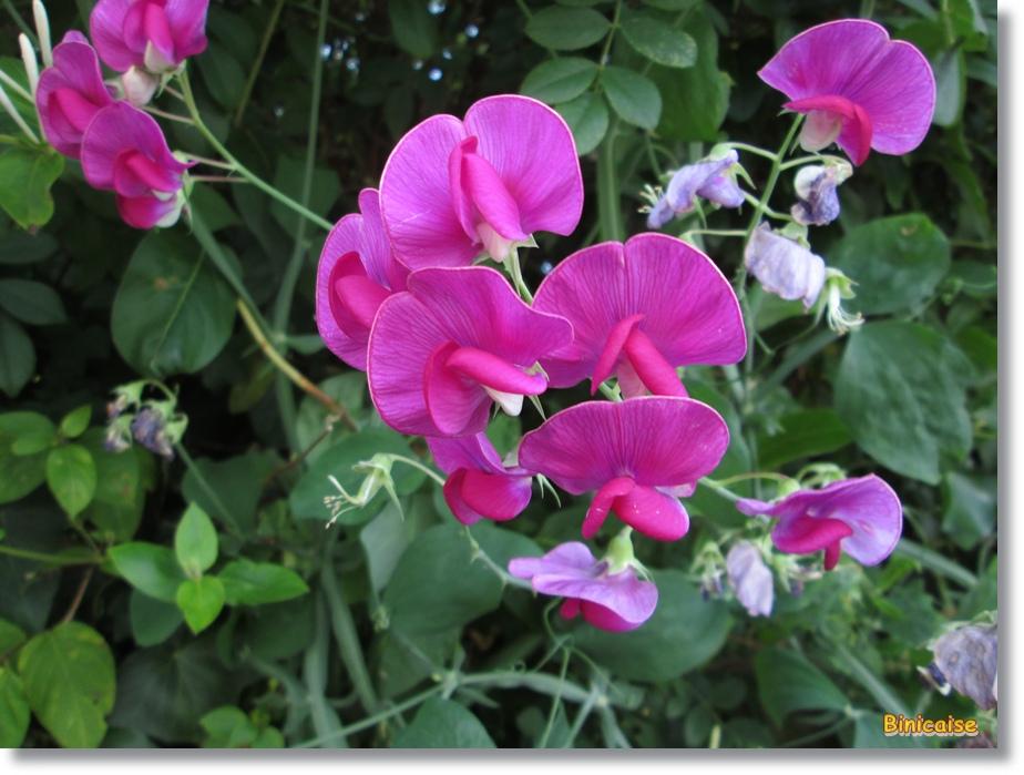 Pois de senteur. dans Fleurs et plantes pois-de-senteur