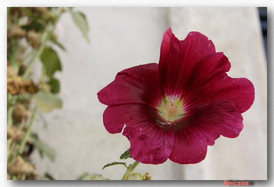 Rose trémière . dans La Rochelle rose-tremiere
