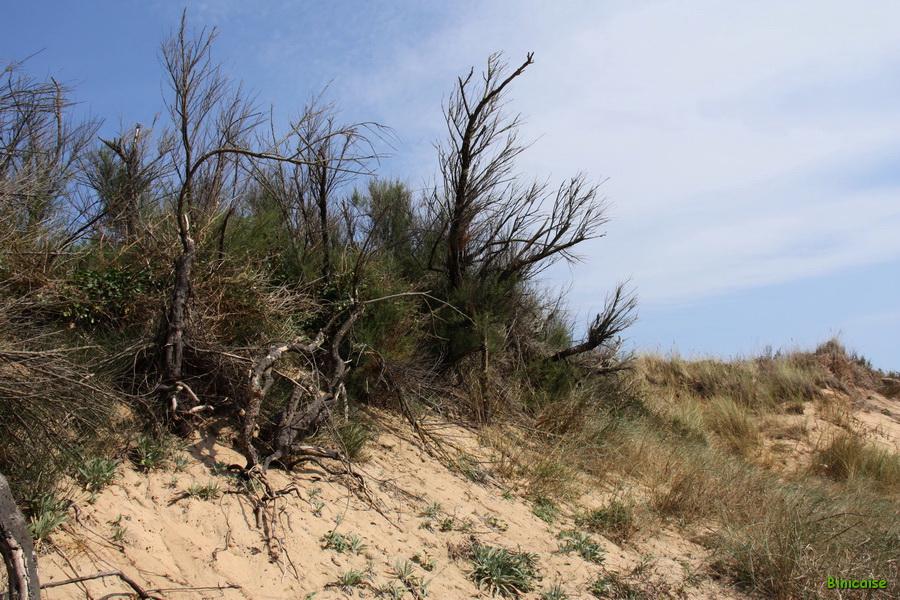 Ile d'Oléron, la dune. dans Charentes Maritimes la-dune-04