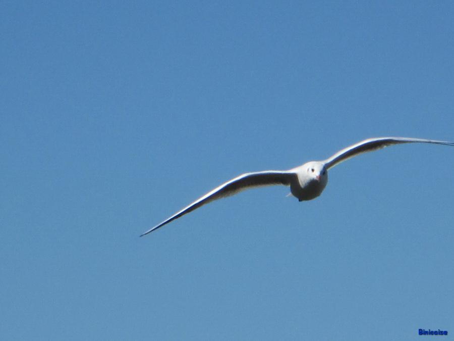 mouette-en-vol Mouette dans Photos