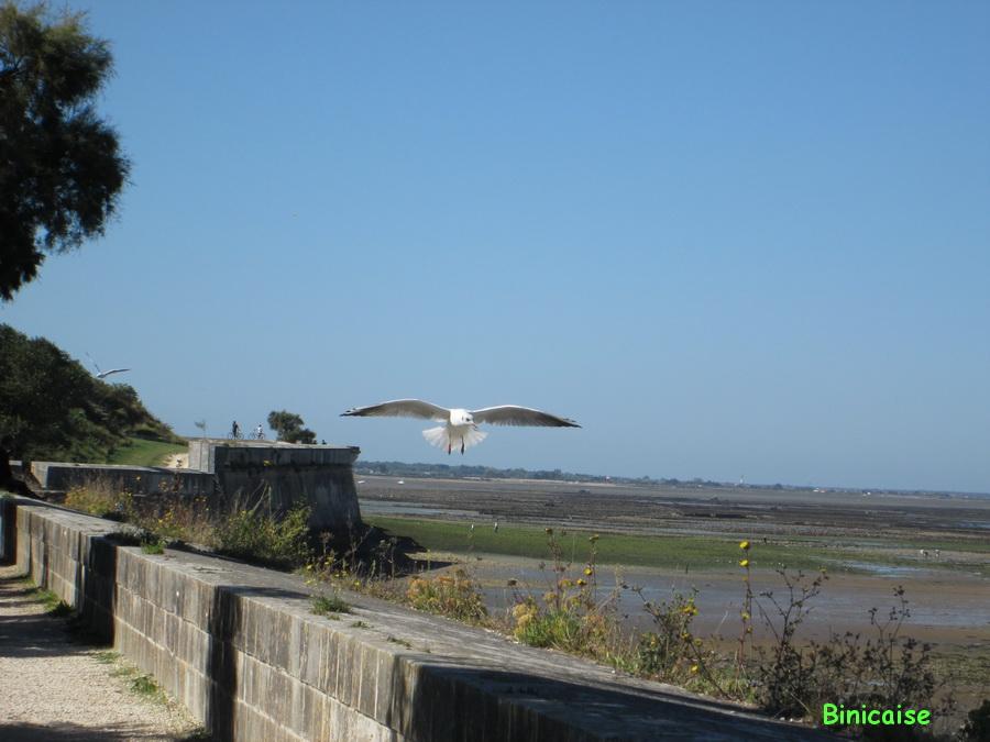 Mouette prête à l'atterrissage. dans Charentes Maritimes mouette-prete-a-se-poser