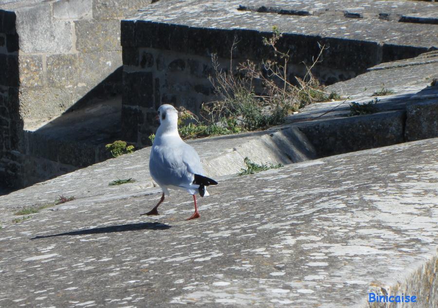 Mouettes  dans Charentes Maritimes mouette