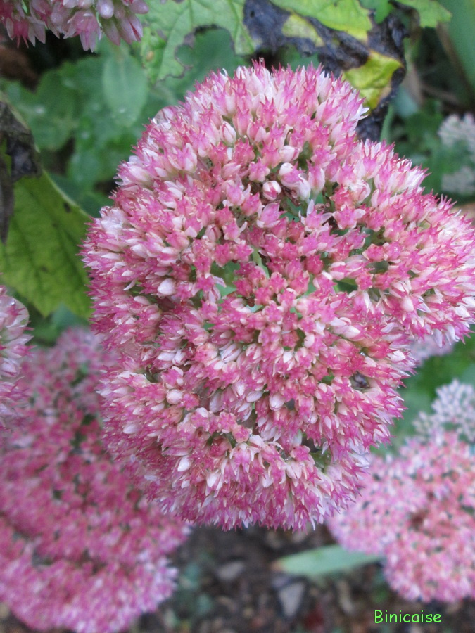 Mon sedum en fleurs. dans Jardin binicaise sedum