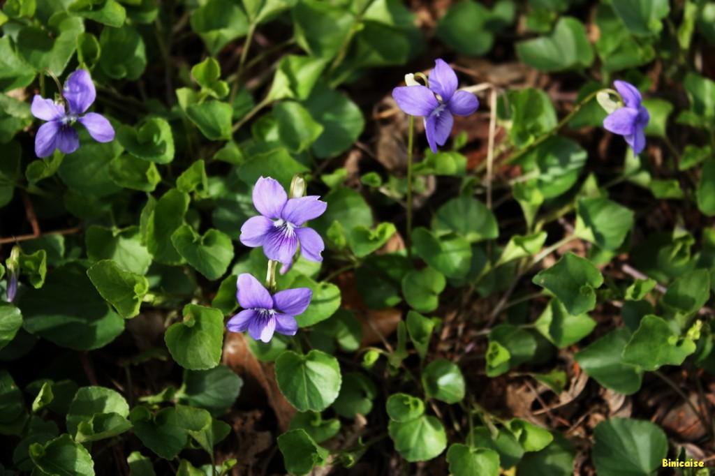 Violettes à gogo 02