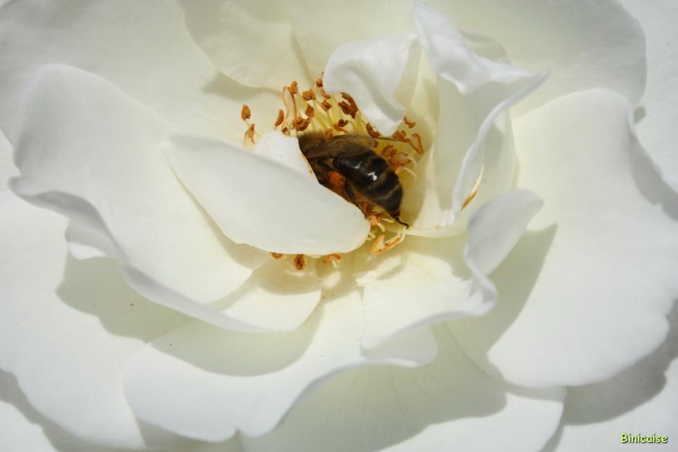 Au coeur de la rose 02