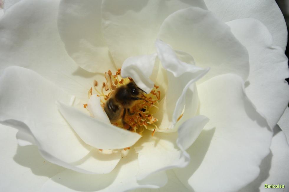 Au coeur de la rose 03