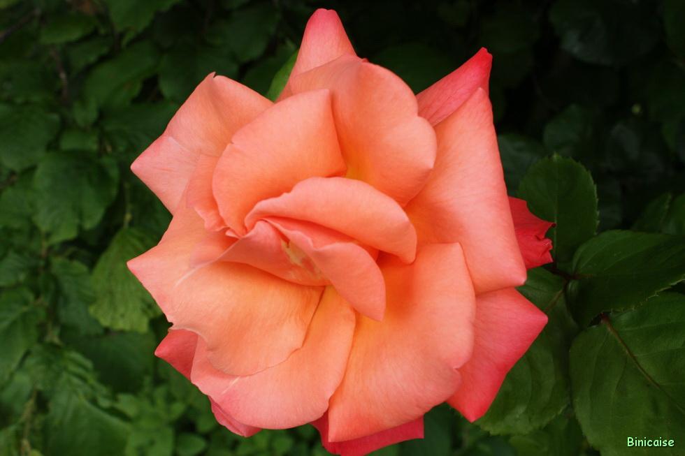 Roses 04