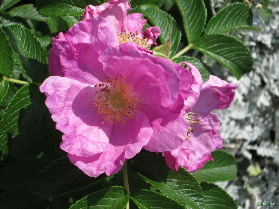 Roses rugosa 1