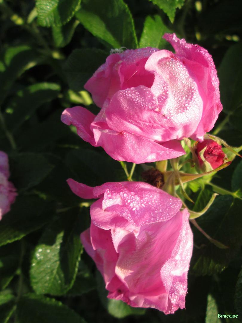 Roses rugosa 2