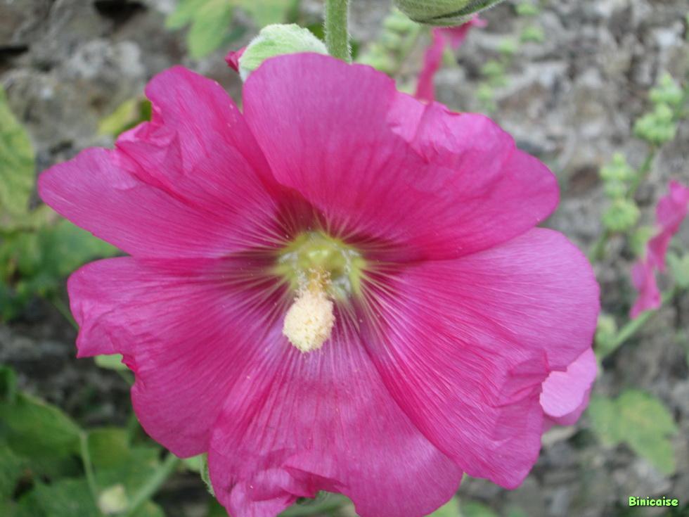 Roses trémières 02