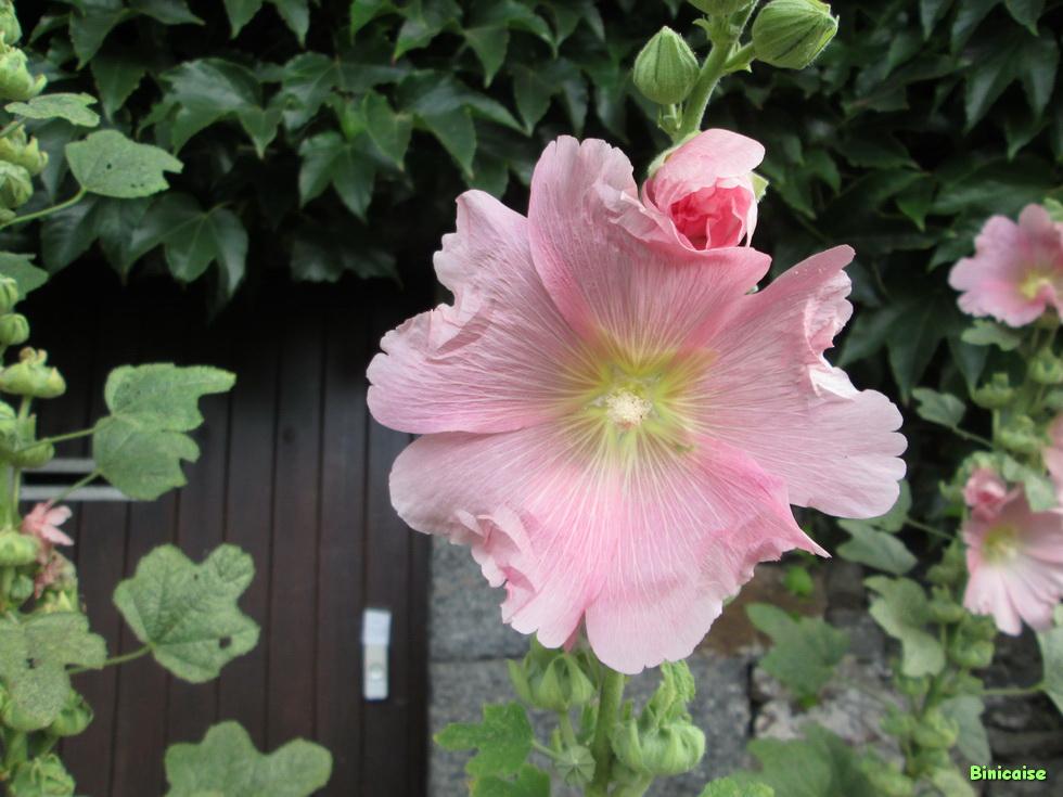 Roses trémières 05