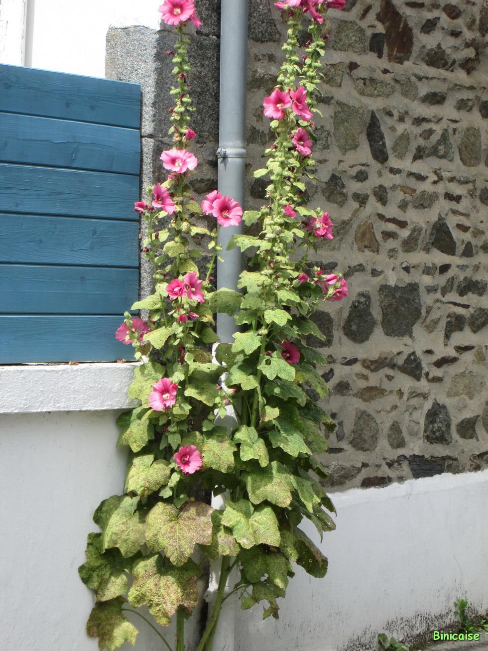 Roses trémières 06