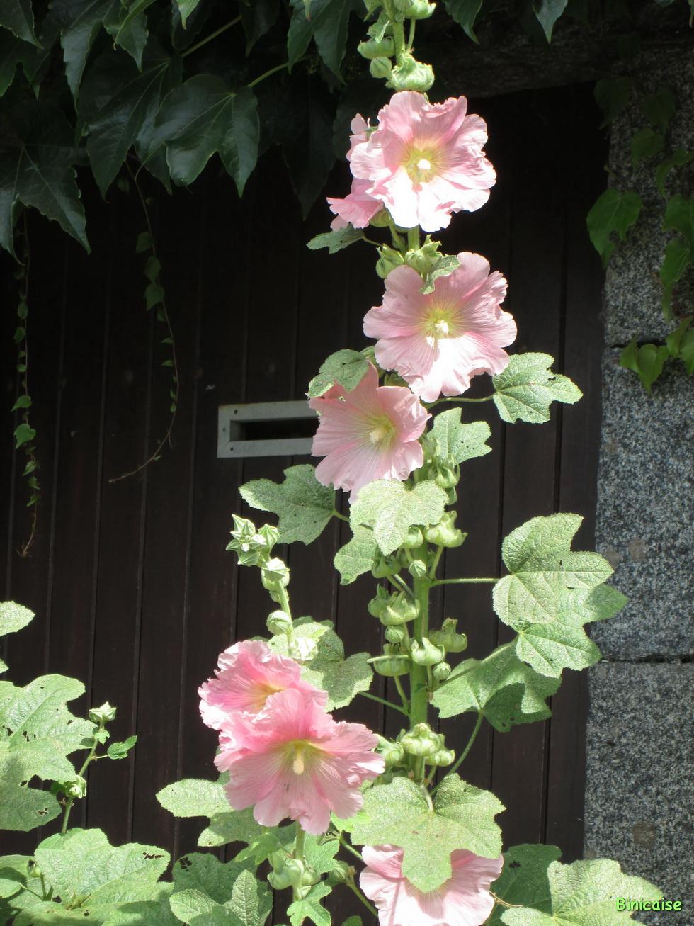 Roses trémières 07