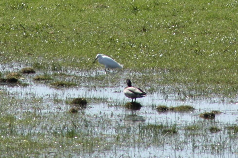Oiseaux du Marais 05