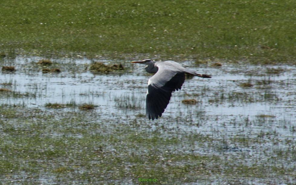 Oiseaux du Marais vendéen  04