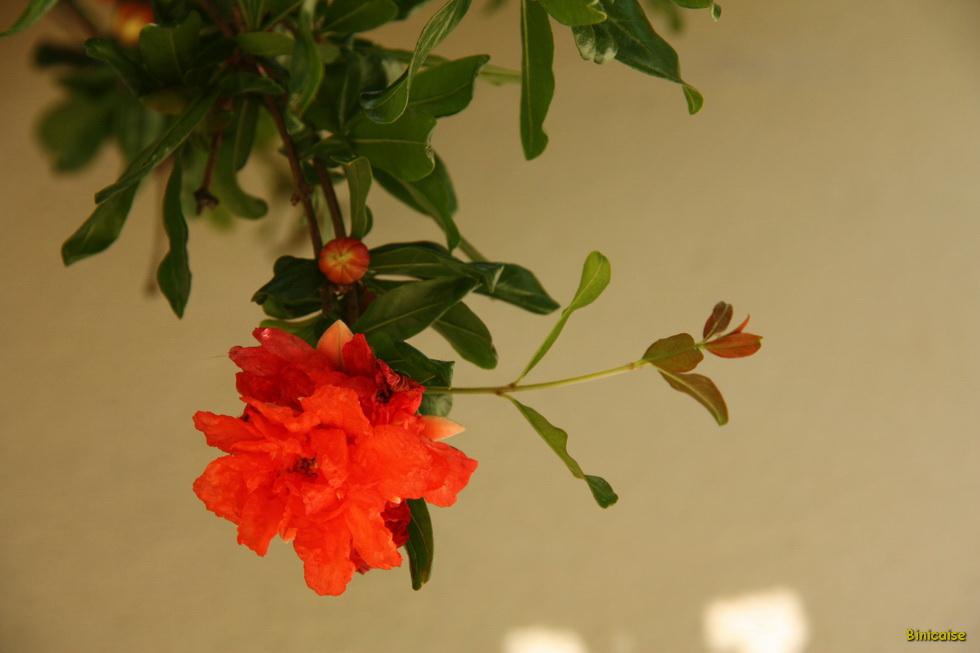 Grenadier et sa fleur 03